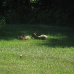 Wordless Wednesday – Fawns
