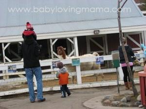 zoo llama and my boys