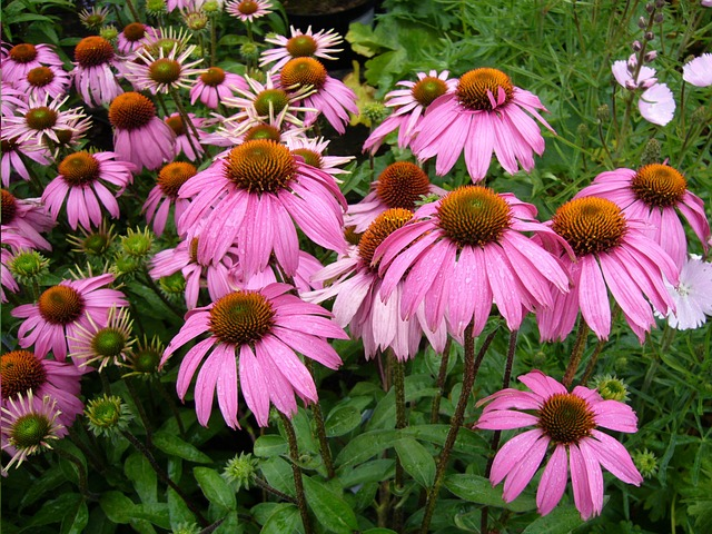 Garden echinacea purple coneflower