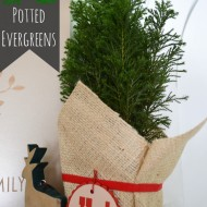 Caring for Potted Evergreens