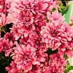 Heirloom Mums for Your Garden: Varieties and Care