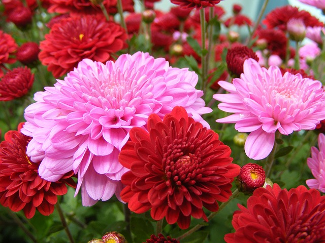 Mums Pink and Red