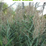 Springtime Ornamental Grass Care Guide