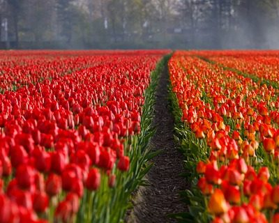 How to Quickly Plant Hundreds of Flower Bulbs