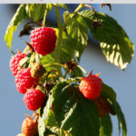 Guide to Homegrown Raspberries: Tips for a Bountiful Harvest