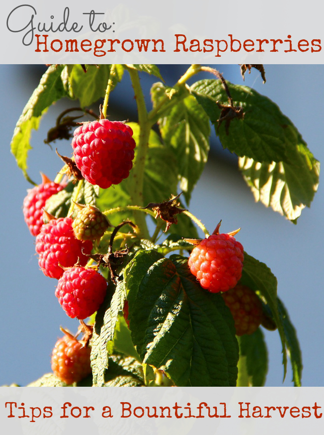 Homegrown Raspberries Guide with Tips to a Bountiful Harvest