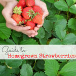 Guide to Homegrown Strawberries: Never Eat Store-Bought Again
