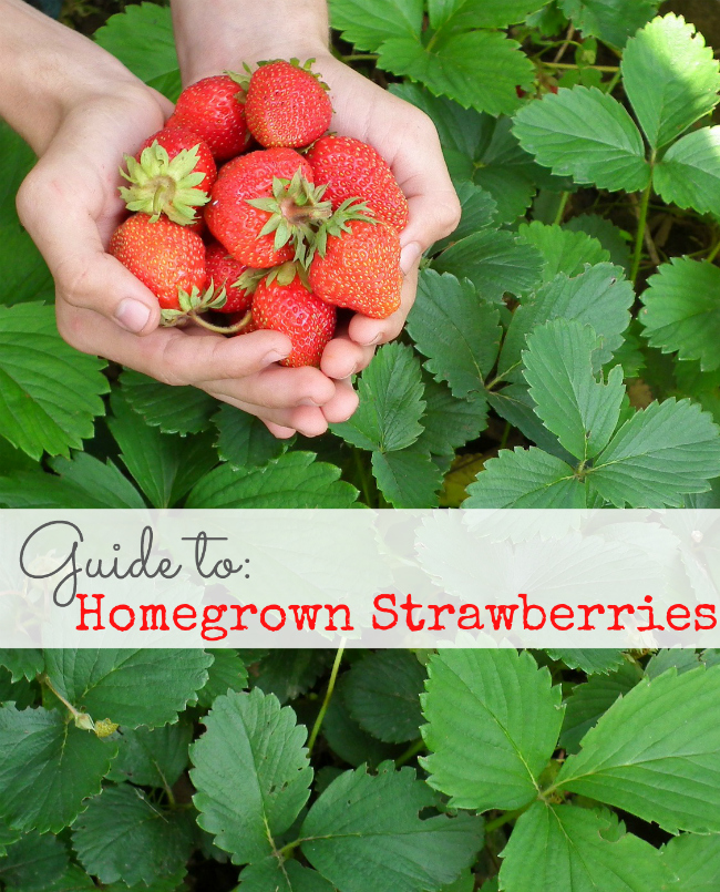 Homegrown Strawberries Guide