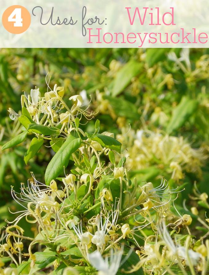 4 Uses for Wild Honeysuckle