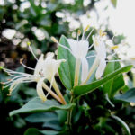 4 Uses for Wild Honeysuckle