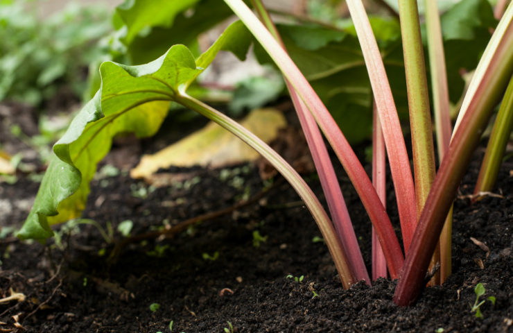 What is Rhubarb? Demystifying Those Red Stalks