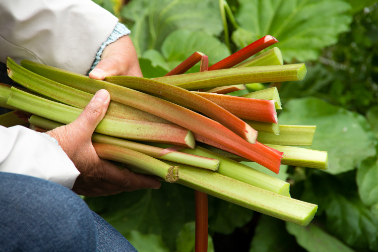 What is Rhubarb? Find out everything you need to know about rhubarb including what rhubarb tastes like, how to grow rhubarb, how to harvest rhubarb and what to do with rhubarb!