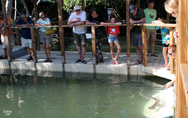 Shark feeding at Aquarium Encounters Florida Keys