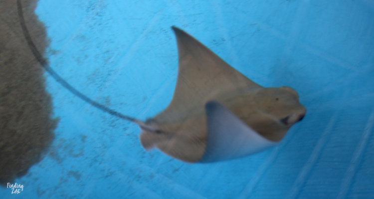 Baby stingray at Aquarium Encounters Florida Keys