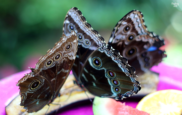 Butterflies eating at Key West Butterfly Nature Conservatory