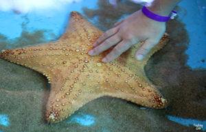 Girl touching starfish at Aquarium Encounters Florida Keys