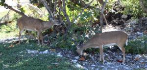 Key deer eating at Big Pine Key Florida