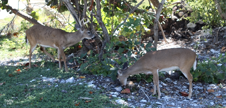 Key deer eating at Big Pine Key Florida