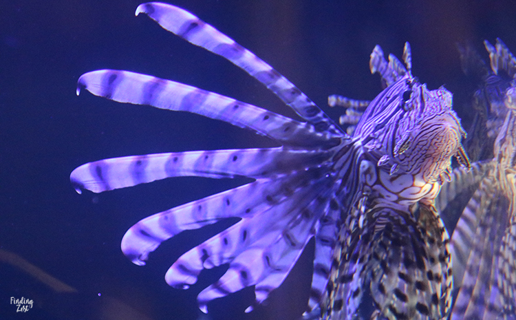 Lionfish at Aquarium Encounters Florida Keys