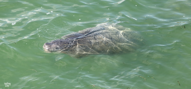 Manatee swimming in Big Pine Key Florida