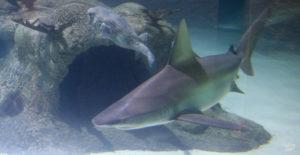 Shark and puffer fish at Aquarium Encounters Florida Keys