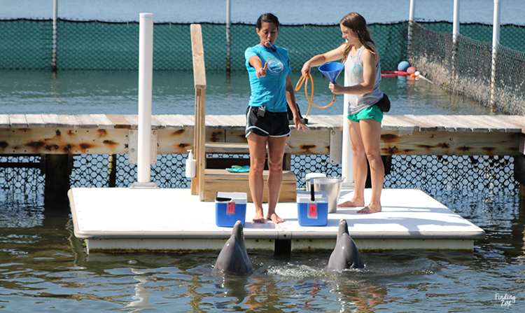 Training dolphins at Dolphin Research Center Florida Keys