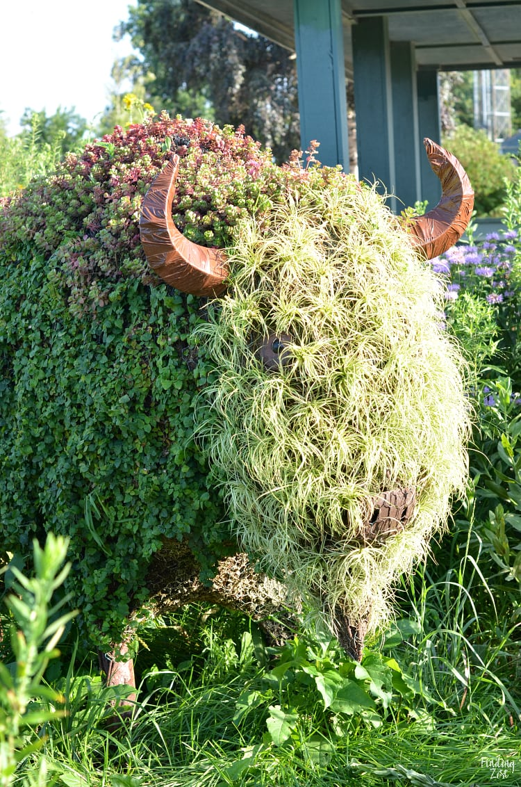 Buffalo at Cedar Valley Arboretum and Botanic Gardens